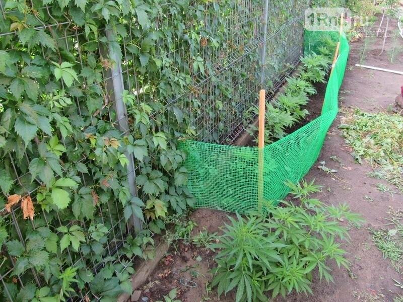 Житель Белой Калитвы вырастил на своем участке плантацию конопли, фото-2