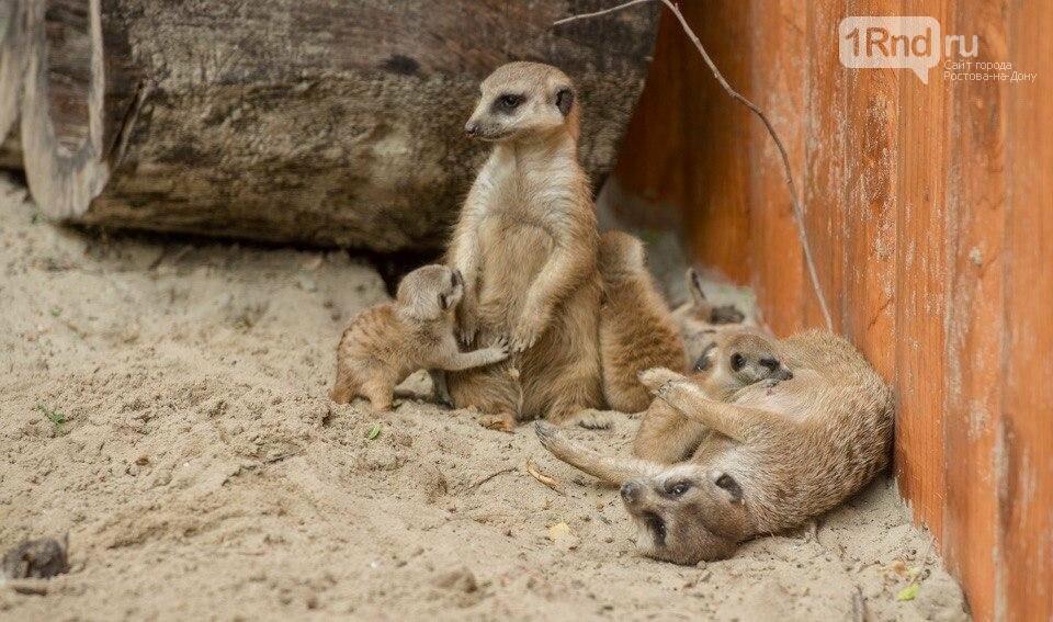 Четверняшки родились у сурикатов в зоопарке Ростова, фото-1
