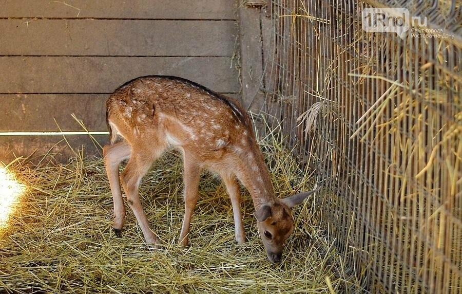 Родившегося в ростовском зоопарке гуанако назвали Янушем, фото-1, Фото: ростовский зоопарк