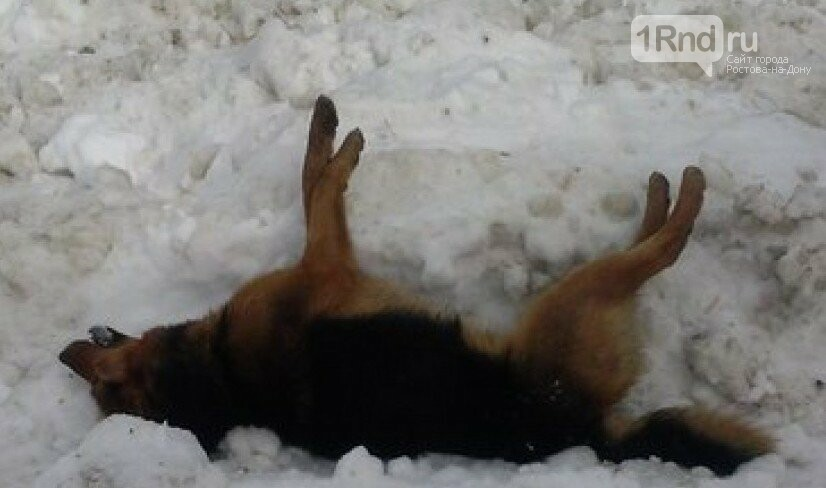 Ростовчанка требует наказать догхантеров, отравивших собак возле школы, фото-1