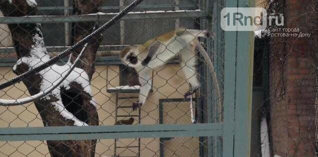 Изъятым под Ростовом контрабандным обезьянам грозит смерть, фото-2