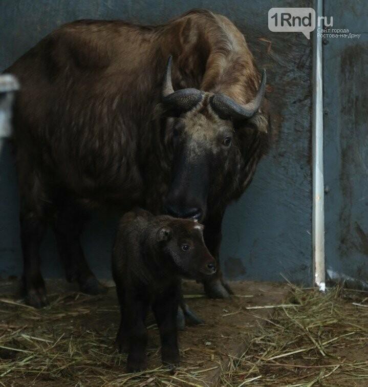 В зоопарке Ростова-на-Дону впервые родился такин, фото-1