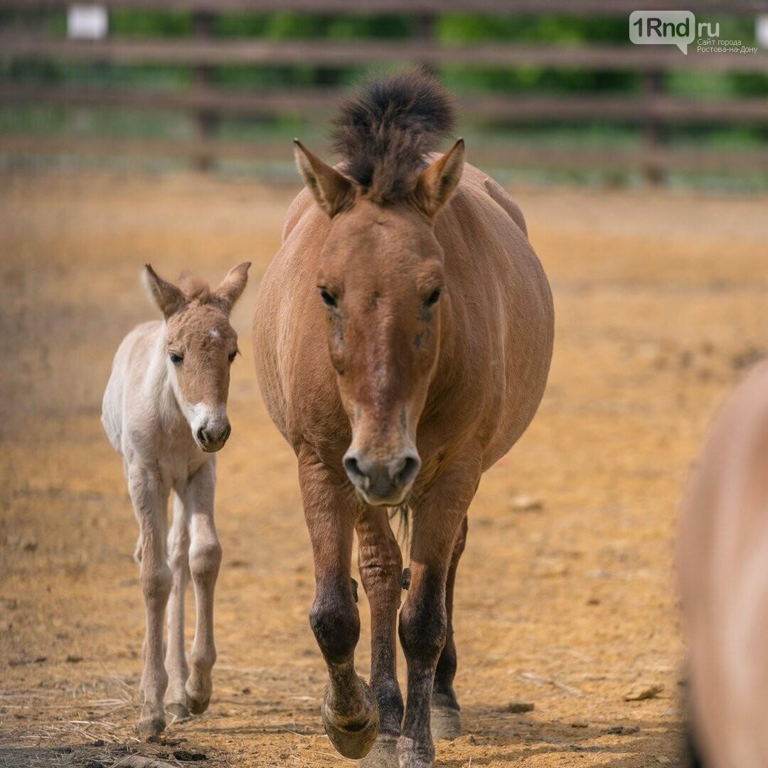 Жеребенок Аврора родился у лошадей Пржевальского в зоопарке Ростова, фото-1, Фото: зоопарк
