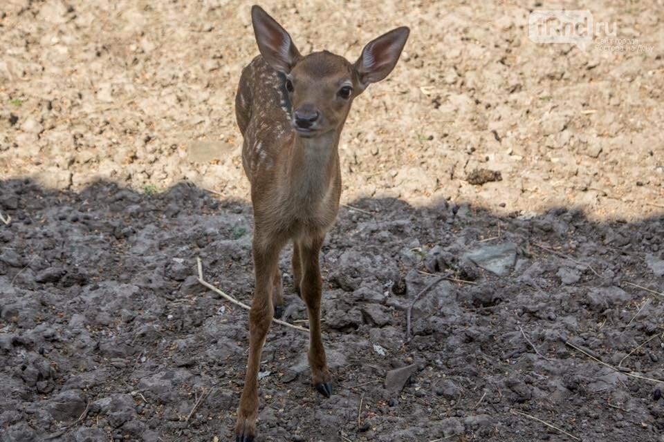 Ростовский зоопарк назвал детеныша лани в честь Артема Дзюбы, фото-1