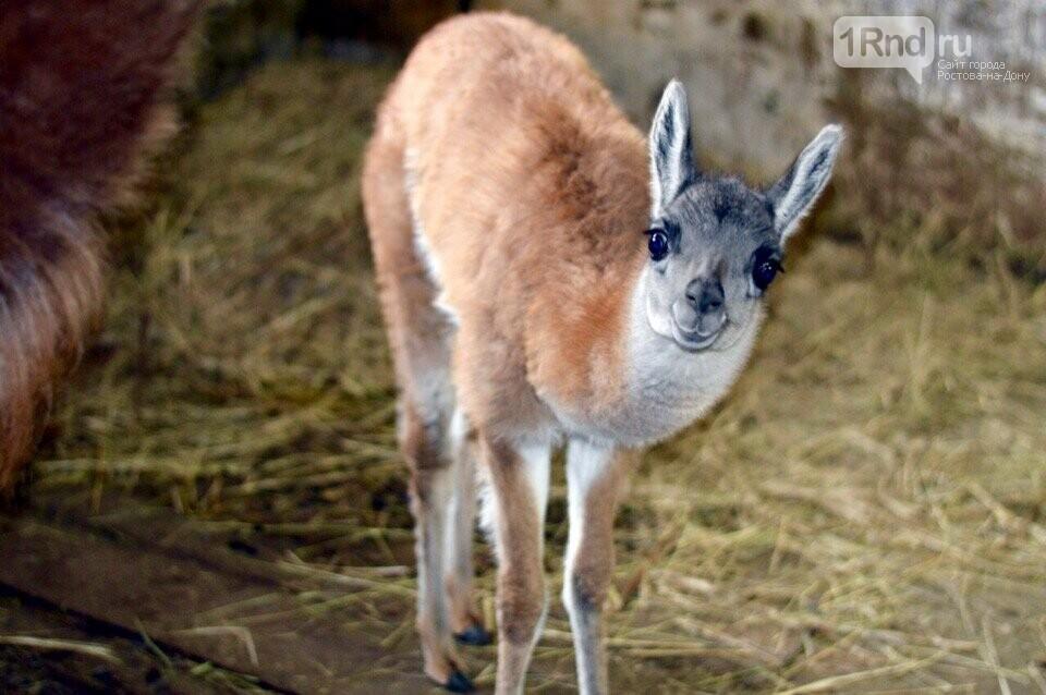В Ростовском зоопарке появились миниатюрные пони и гуанако, фото-2
