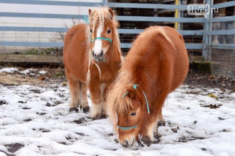 В Ростовском зоопарке появились миниатюрные пони и гуанако, фото-1