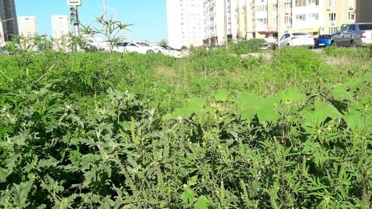 Власти Ростова заявили о невозможности косить амброзию на бесхозных пустырях и стройках, фото-7