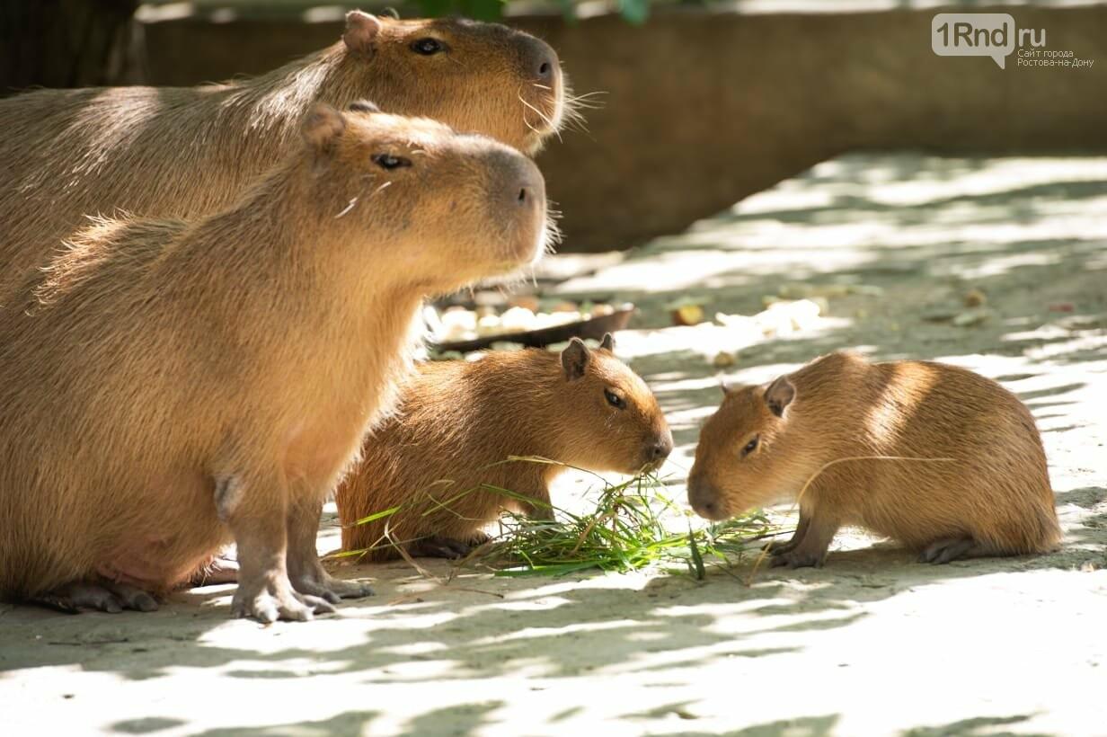 Капибары появились на свет в зоопарке Ростова , фото-1