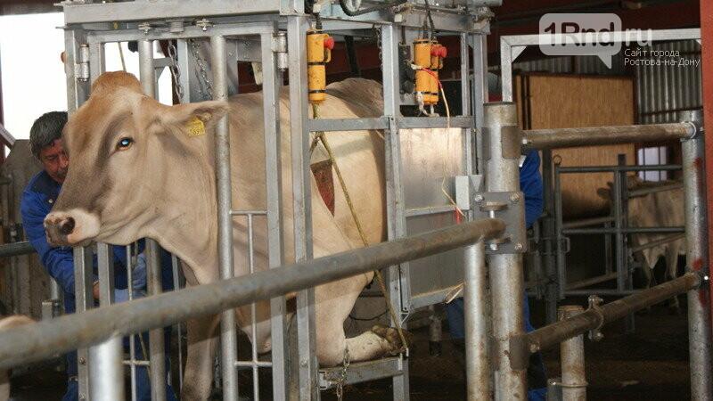 От коровы до прилавка: как в Ростовской области производят молоко, фото-12