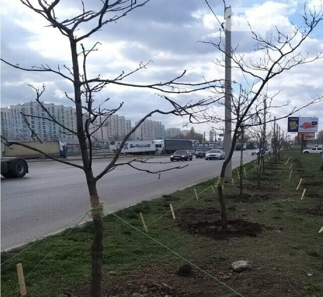 Сотню деревьев из зоны строительства моста Малиновского пересадили на улицу Доватора, фото-1
