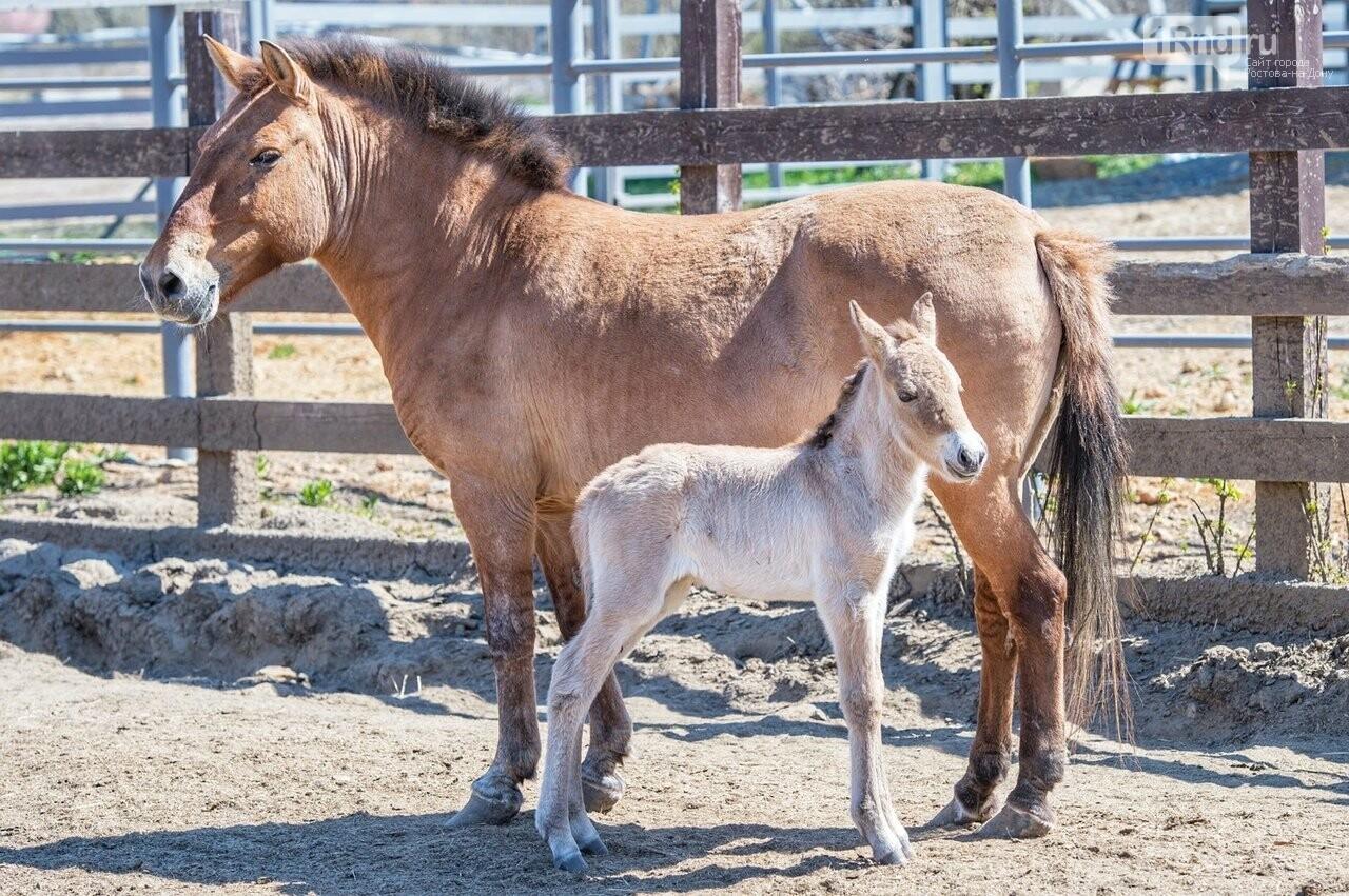 В зоопарке Ростова у лошадей Пржевальского родился жеребёнок, фото-1