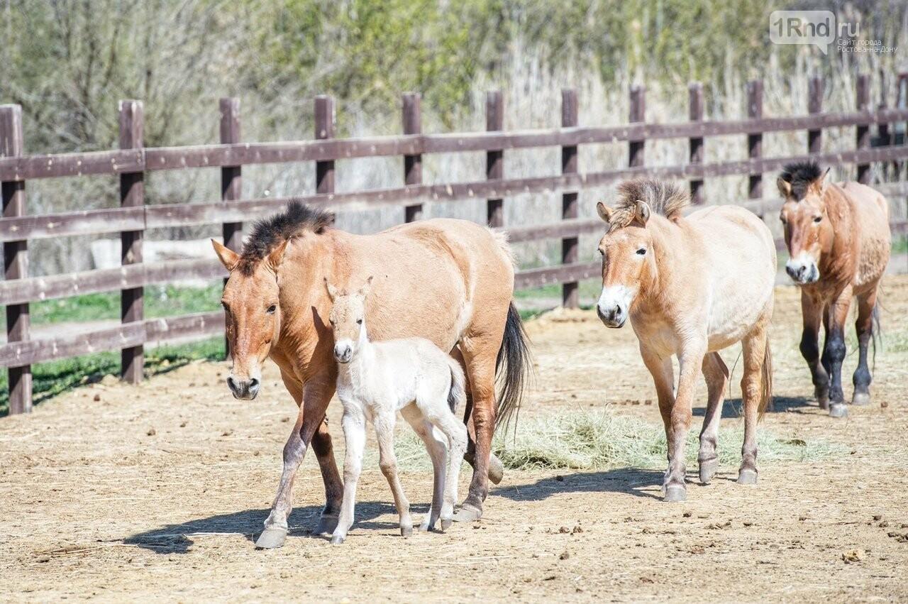 В зоопарке Ростова у лошадей Пржевальского родился жеребёнок, фото-2