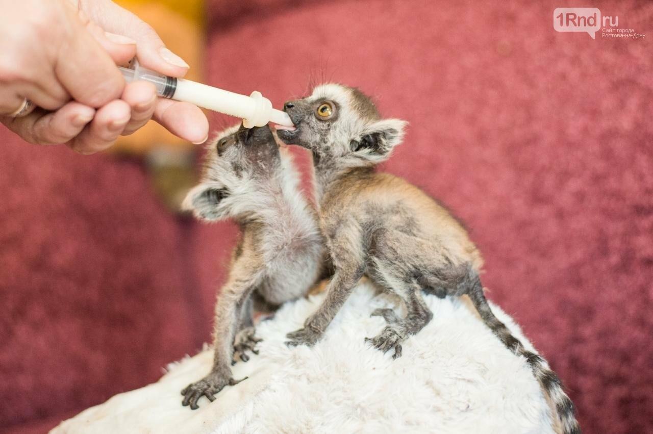 В Ростовском зоопарке родились два самца краснокнижных кошачьих лемуров, фото-1