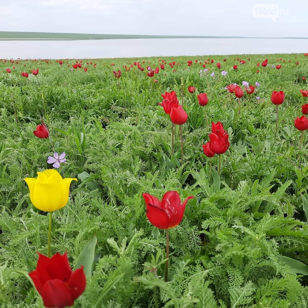 Тюльпаны в степи, фото Е. Гриценко