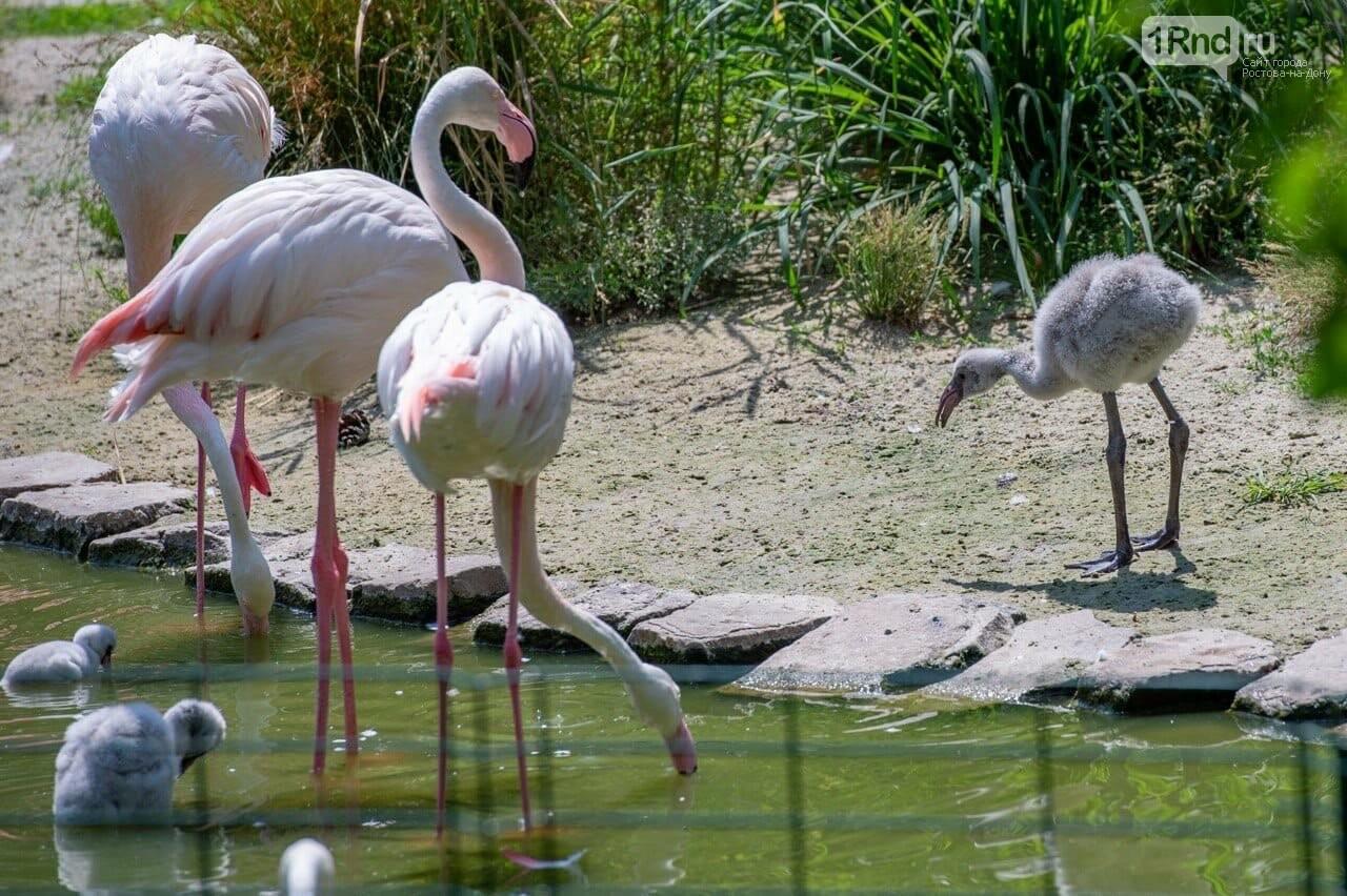 Птенцы розового фламинго