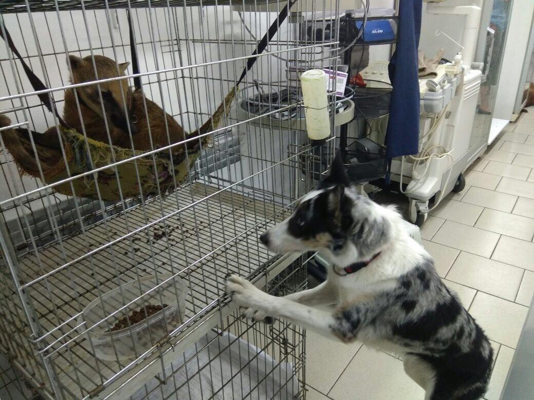 Ростовские ветеринары спасли циркового артиста, носуху Рики, фото-3