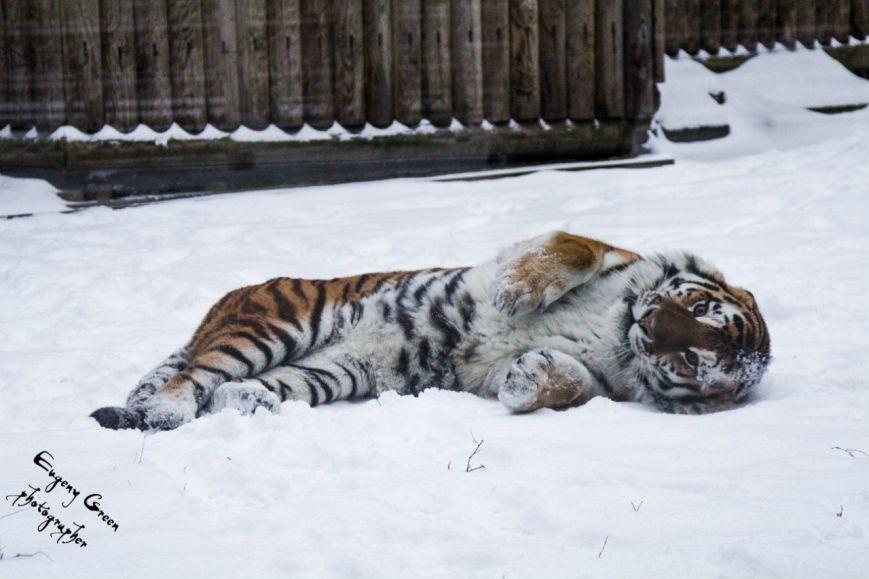 Амурский тигр-бродяга Устин впервые стал отцом, фото-1