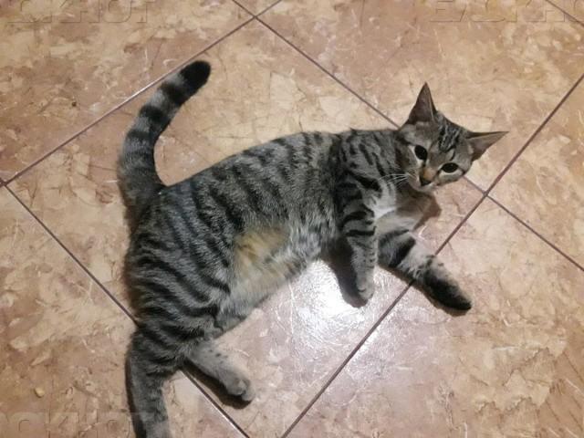 Ростовчанин реализует домашнюю кошку Соню за1 млн руб.