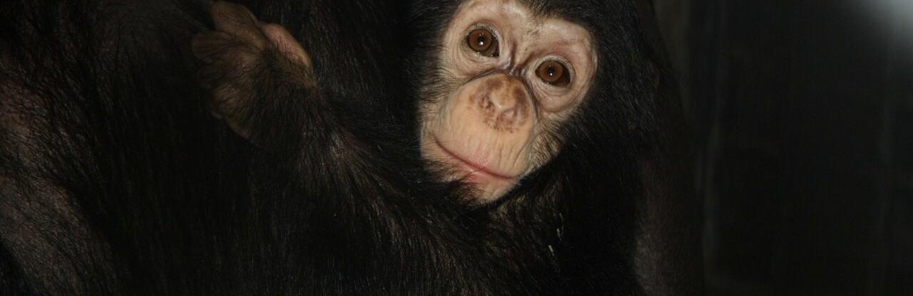 Из челябинского зоопарка в ростовский едет шимпанзе Варвара